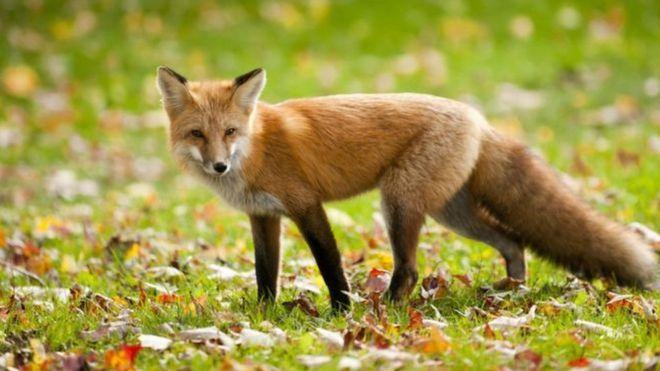 Kezdődik a rókák veszettség elleni vakcinázása
