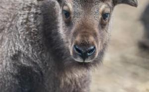 Mishmi takinok születtek a Nyíregyházi Állatparkban