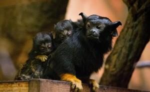 Különleges külsejű, aranykezű tamarinok születettek a Nyíregyházi Állatparkban