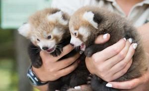 Vörös macskamedvék születtek a Nyíregyházi Állatparkban