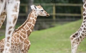 Zsiráfborjú született a Nyíregyházi Állatparkban